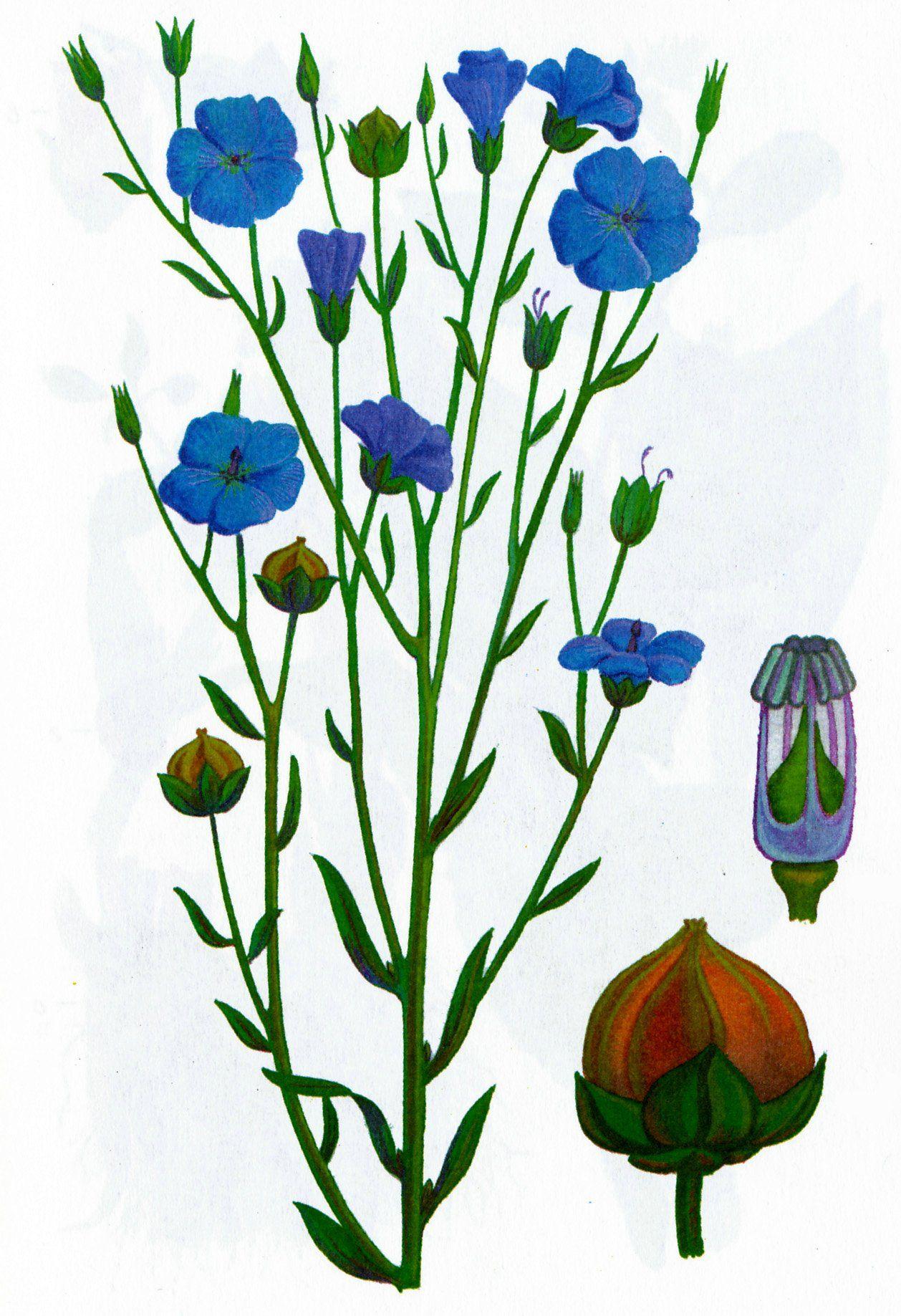 растение лен